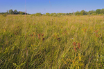 Wild licorice in tall grass prairie