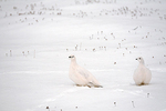 willow ptarmigans on tundra