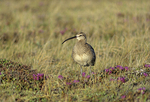 Whimbrel (Numenius phaeopus) and Rhododendron flowers on tundra