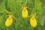 Yellow Lady's Slipper (Cypripedium calceolus)