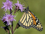 Monarch Nectars at Savanna Blazing Star   602168