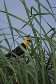 Yellow-headed Blackbird in Common Cattails  809927
