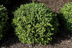 Green Velvet Boxwood Shrub  808607
