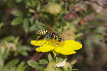 European Paper Wasp on Cinquefoil Blossom 810403