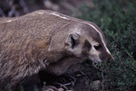 North American Badger  17802