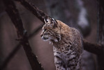 Bobcat in Tree  15162