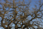 Gnarled Oak Tree Against Blue Sky  811400