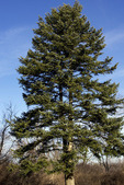 Greek Fir Tree  818348