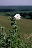White Prickly Poppy  55354