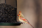 Northern Cardinal Female on Feeder  818475  