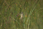 Mallard Duck Hen Sitting on Nest Camouflaged in Grass  819760