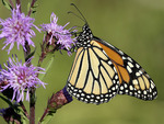 Monarch Nectars on Savanna Blazing Star  602169