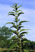 Tall Nettle  26822  