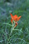 Wholeleaf Indian Paintbrush  600473