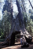 Giant Sequoia Dead Giant Tunnel Tree  31338