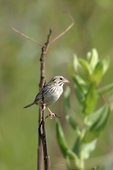 Henslow's Sparrow  601303