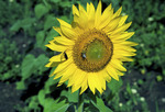 Common Sunflower  47064