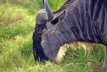 Eastern White-bearded Wildebeest  53829