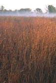 Big Bluestem in Autumn  35107