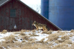 Coyote at Barn and Silos 704107