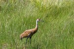 Sandhill Crane  705355  