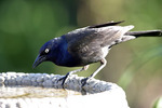 Common Grackle on Birdbath  604256