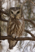 Northern Saw-whet Owl  801075