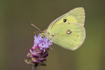 Clouded Sulphur Nectars at Rough Blazing Star  612232