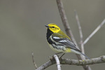Black-throated Green Warbler  805395