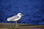 Ring-billed Gull   17720