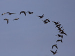 Greater White-fronted Geese and Snow Geese Fly   800104