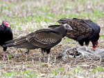 Turkey Vultures at Raccoon Carcass  708029