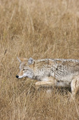 Coyote Hunts 704897