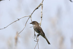 Eastern Wood-Pewee  703838