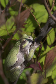 Eastern Gray Treefrog 807217