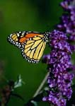 Monarch butterfly (Danaus) on a purple flower of a butterfly bush (buddleia)