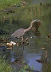 Great blue heron (Ardea) wading in a polluted pond.