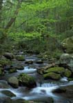 Spring foliage along Roaring Fork Creek, Great Smoky Mountains National Park