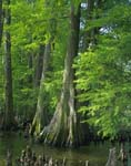Baldcypress trees and knees, Reelfoot Lake, Tennessee.