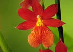 "Red Hybrid Orchid, (Burrageara), named ""Living Fire Meteor"""