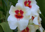 White and red hybrid Orchid,(Miltonia), also known as pansy orchids, named