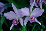Blue Orchid, named Blue Kahii