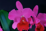 "Pink and red orchid (Laeliocattleya) named Betty Ford ""york"""