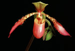 Orchid (Paphiopedilum), named Song of Love