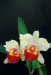 "Orchids (BLC) named ""Hawai'"