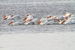 American White Pelicans.