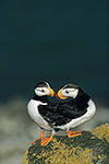 Horned puffins nesting on Round Island, Bering Sea, Alaska