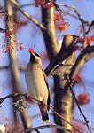 Bohemian waxwings feeding on mountain ash during the Alaskan winter