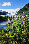 Lupine, Mendenhall Lake, and Mendenhall Glacier, Tongass National Forest, Juneau, Alaska