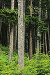 Sitka spruce and lifting fog in the temperate rain forest, Tongass National Forest, Mitkof Island, Alaska